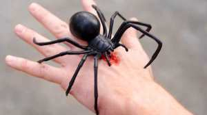 giant-black-widow-spider-bite